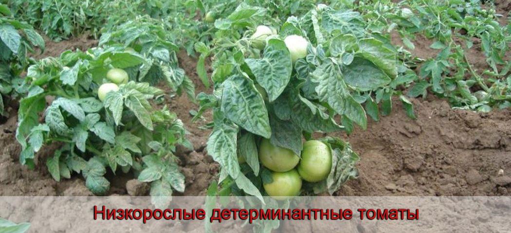 Низкорослые детерминантные томаты, фото