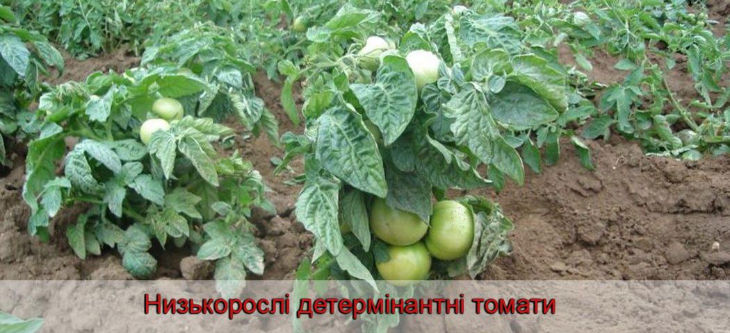 Низкорослі детермінантні томати, фото