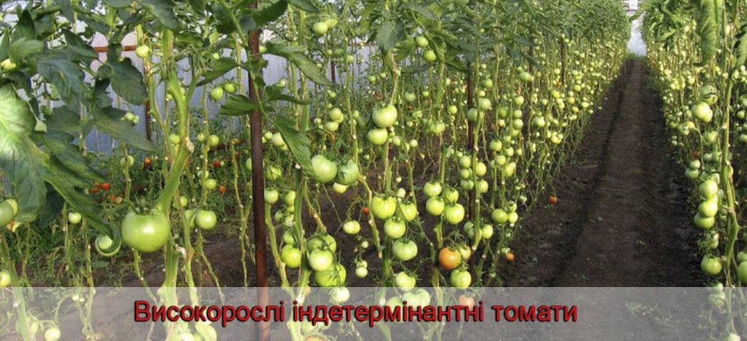 Високорослі індетермінантні томати, фото