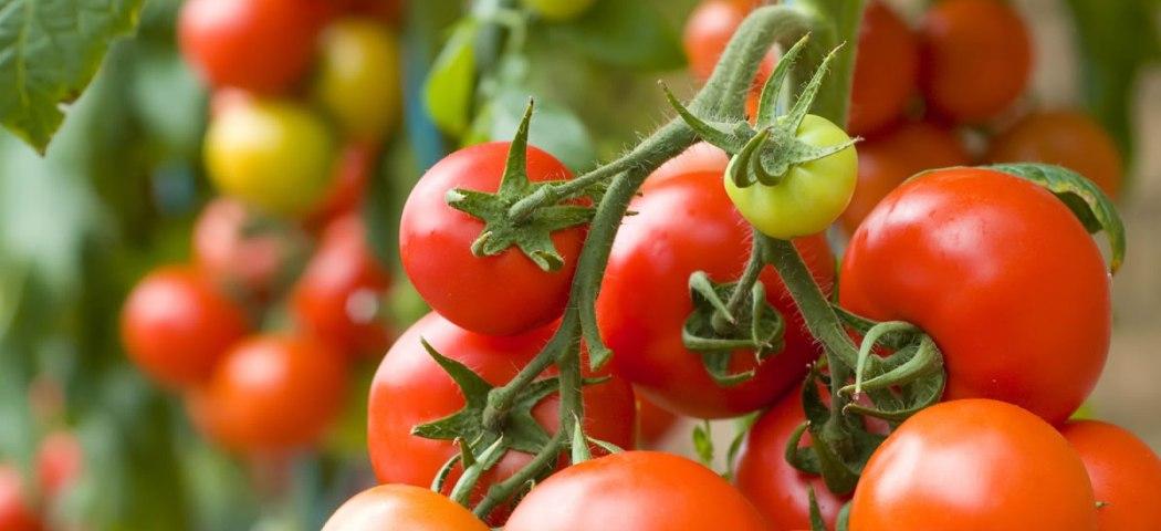 Проблеми та помилки при вирощуванні томатів, фото