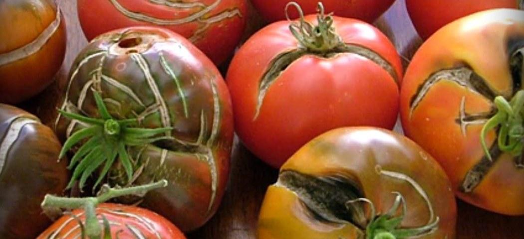 Помилки поливу томатів, чому тріскаються помідори, фото