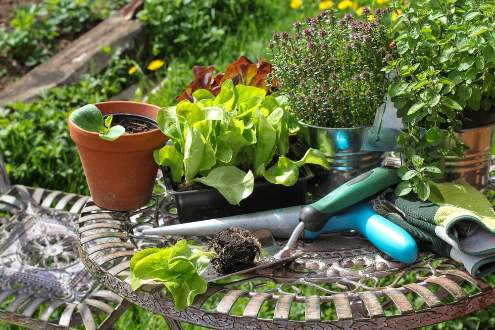 Повторні посіви овочів влітку, фото