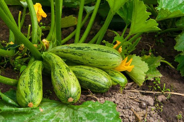 Сеем овощи летом, кабачки. фото