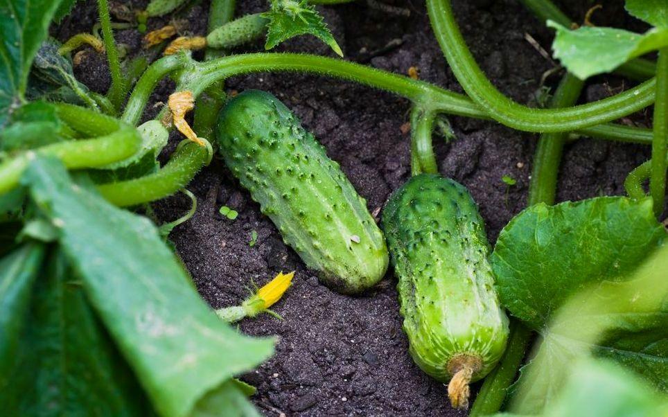 Повторный посев огурцов, капусты и салата летом, фото