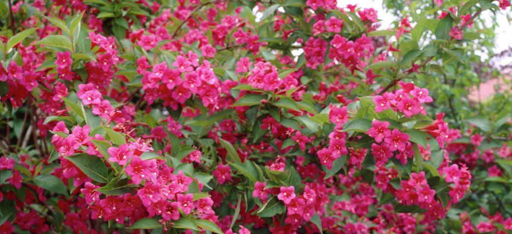 Вейгела у період цвітіння, фото
