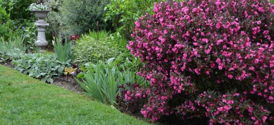 Вейгела у дизайні саду, фото
