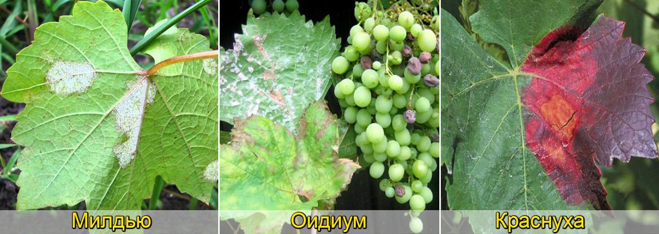 Болезни винограда фото описания