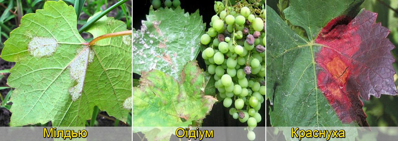 Хвороби винограду фото описи