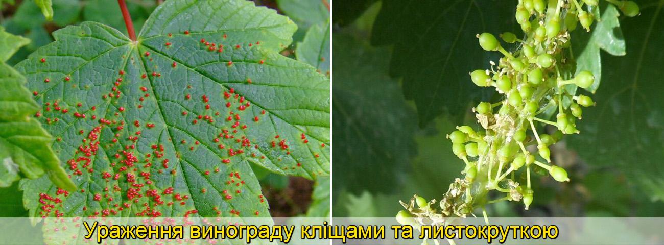 ШкІдники винограду, фото описи