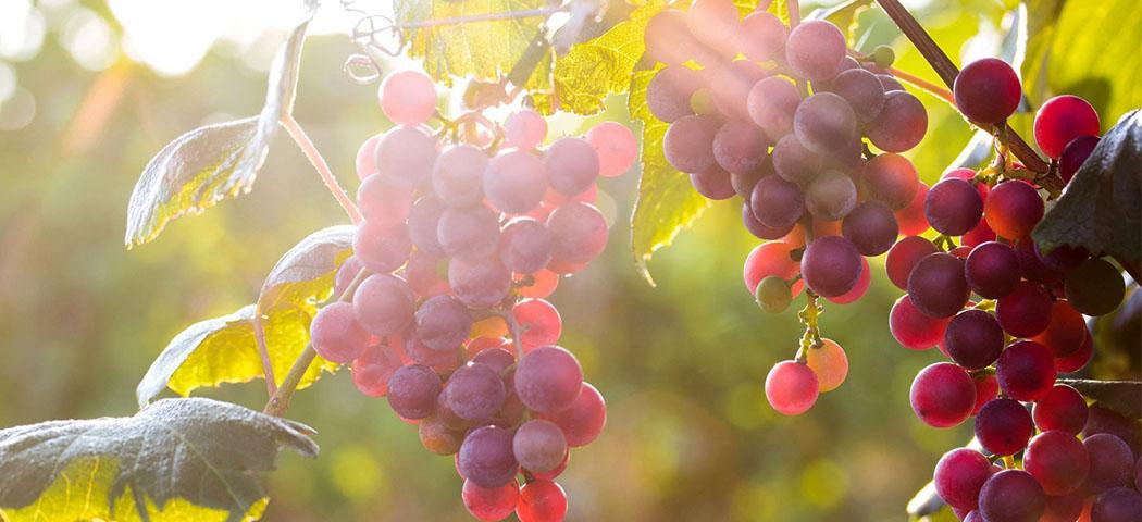 саджанці винограду. посадка та догляд