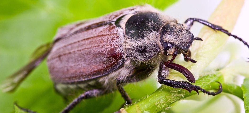 Майский жук, как бороться с личинками, фото