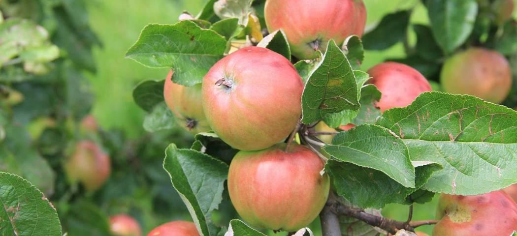 Яблони вредители, чем опрыскать, препараты, фото