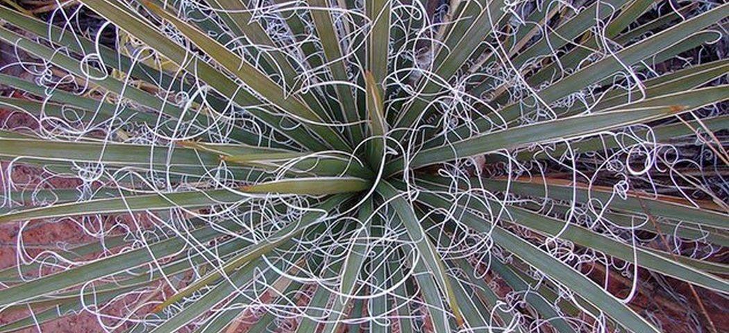 Юкка садовая нитчатая выращивание, фото