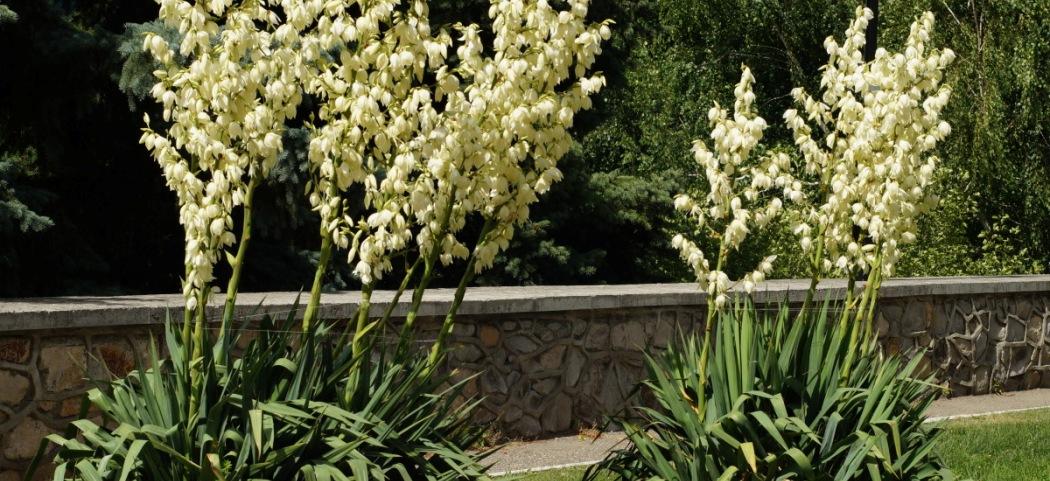Юкка в саду, в открытом грунте, фото