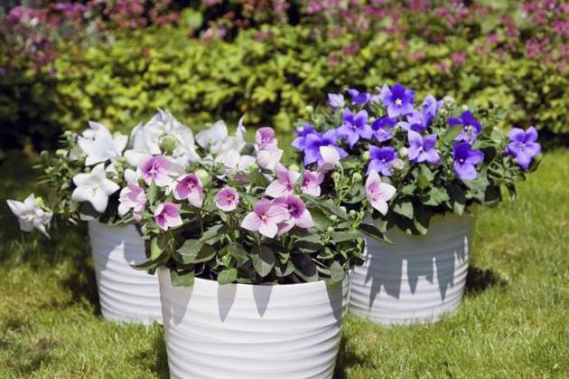 Платикодон ширококолокольчик цветы фото