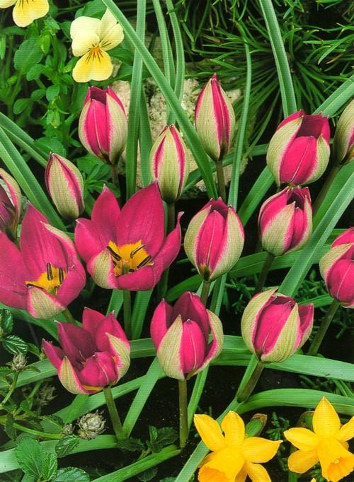 Ботанический тюльпан