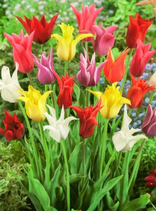 Лилиевидный тюльпан