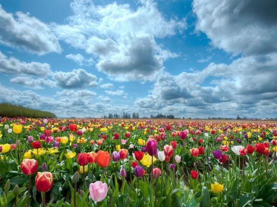 Международная классификация тюльпанов