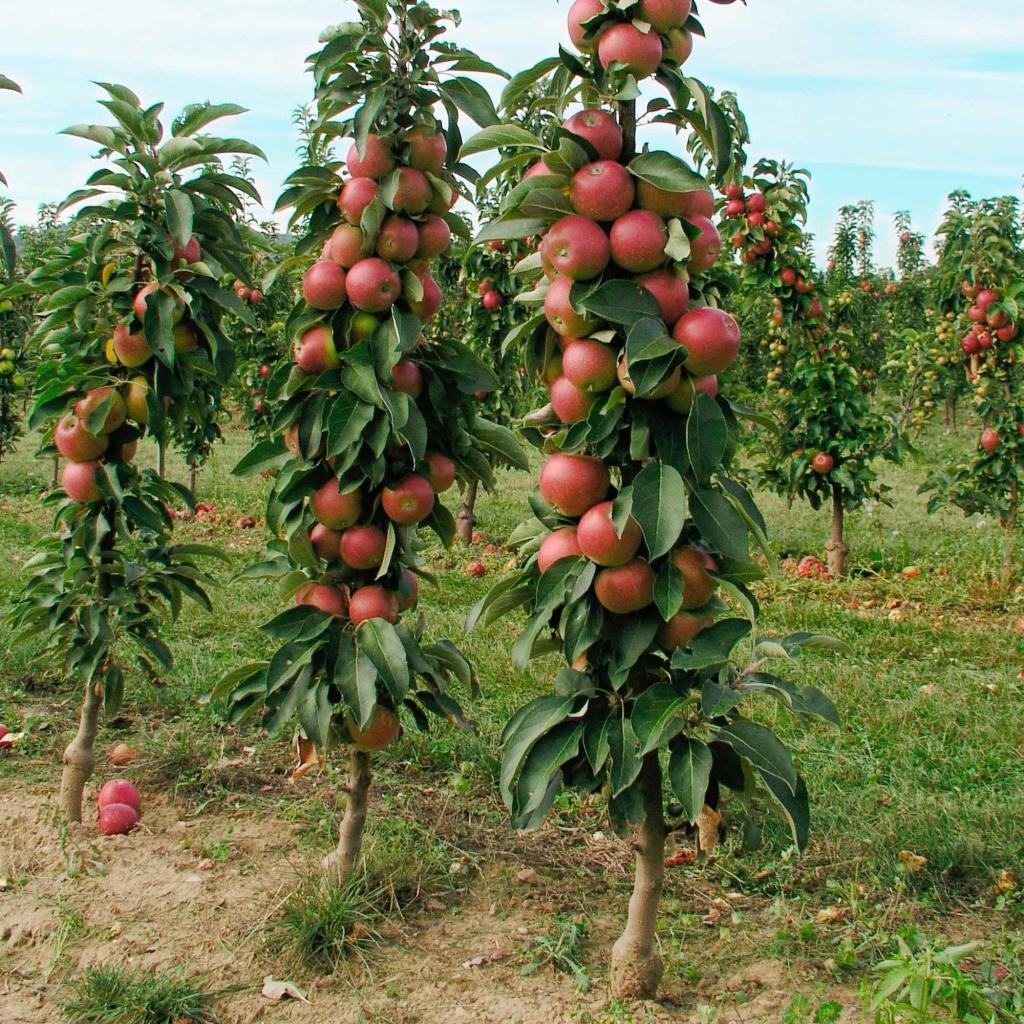 Яблоня колоновидная, фото