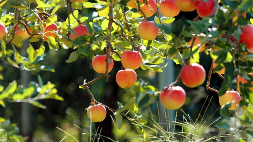 Яблоня болезни и вредители, фото
