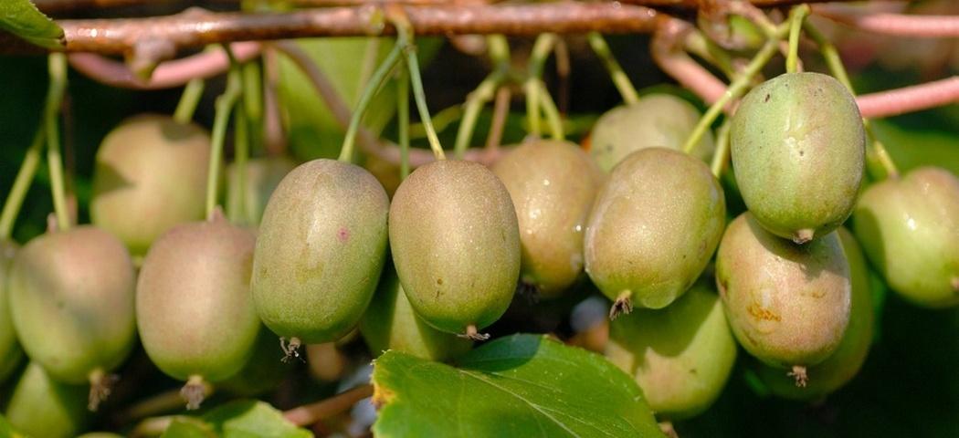 Актинидия – экзотические фрукты в вашем саду