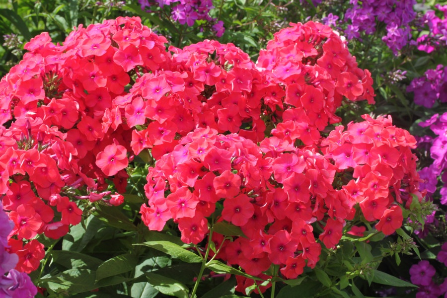 Полум'яне цвітіння літа: флокс мітлистий