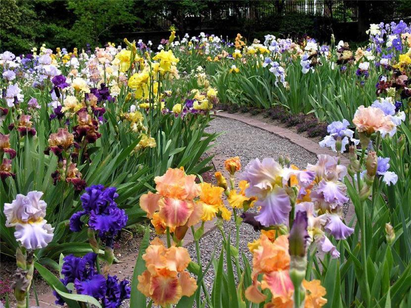 Ирис бородатый Germanica: цветущая радуга в саду