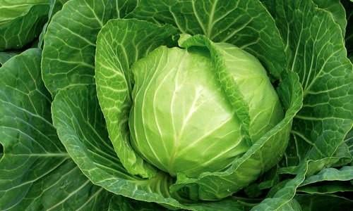 Агротехника выращивания белокочанной капусты: секреты получения хорошего урожая