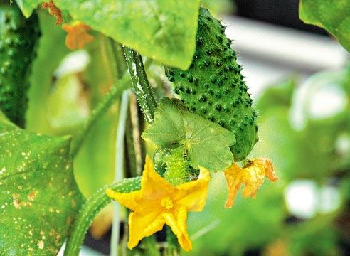 Агротехника выращивания огурцов: как организовать зеленый конвейер