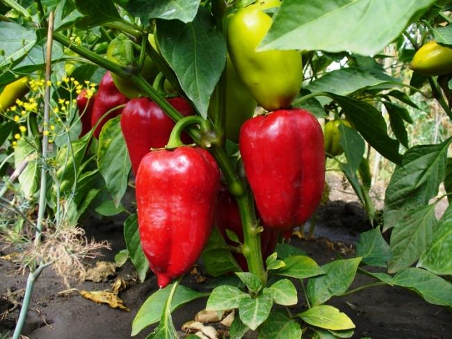 Агротехника выращивания перца