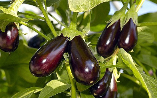 Агротехника выращивания баклажанов: простые правила и большой урожай