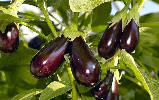 Агротехніка вирощування баклажанів: прості правила -  великий врожай