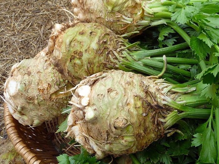 Агротехніка вирощування кореневої селери
