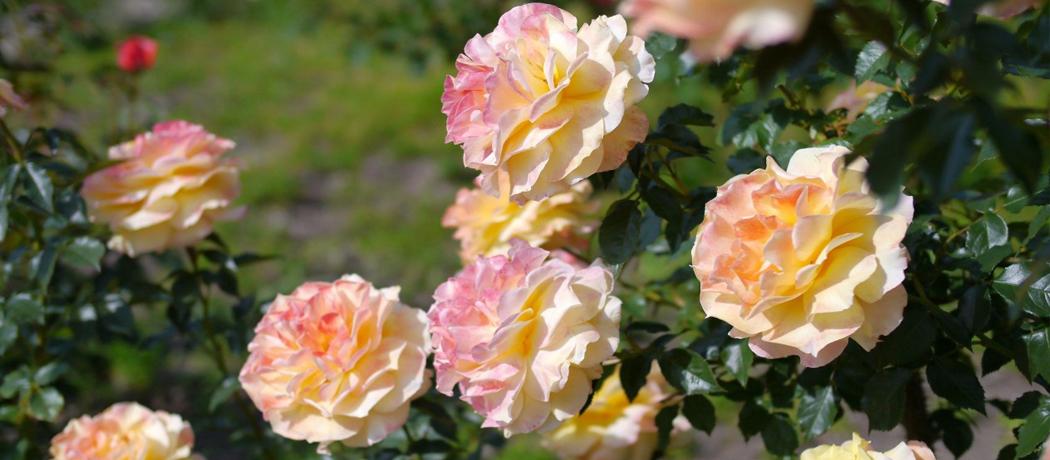 саженцы роз качество, фото