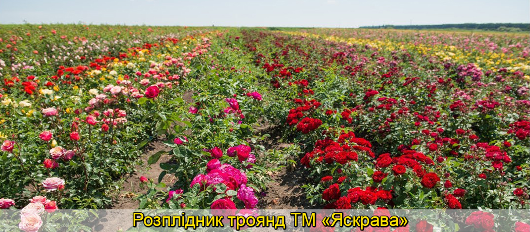 розплідник троянд яскрава, фото