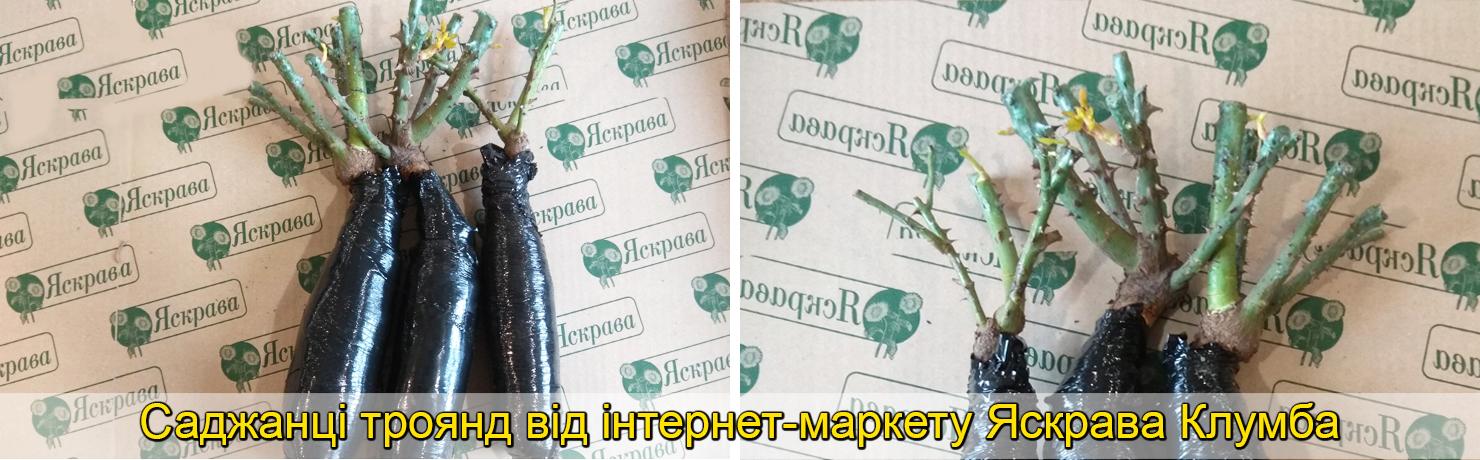 Саджанці троянд Яскрава Клумба