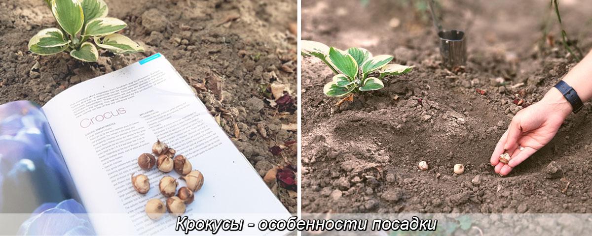 Луковицы крокусов, посадка и уход, агротехника