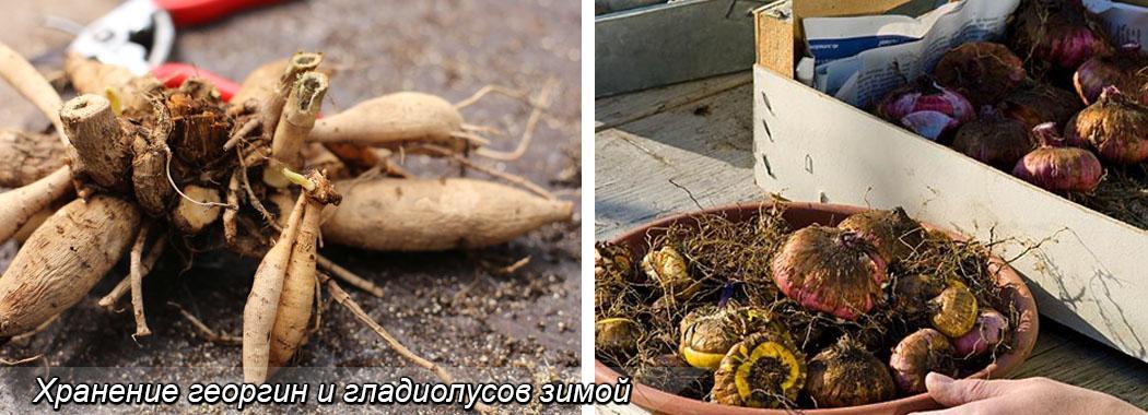 Хранение луковиц гладиолусов, и клубней георгин зимой