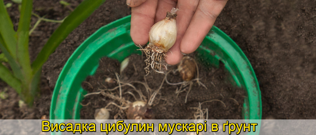 Посадка цибулин мускарі у відкритий ґрунт