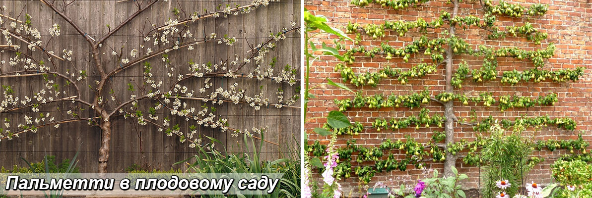 Пальметта з плодових дерев, груша, абрикос