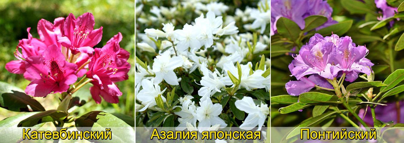 Рододендрон виды, катевбинский, понтийский, азалия японская адонис