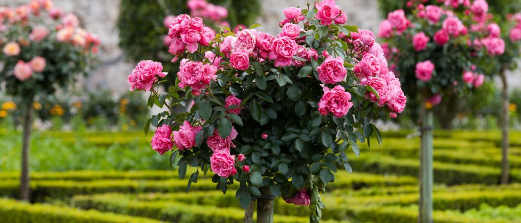Штамбові троянди на штамбі, види, описи, фото