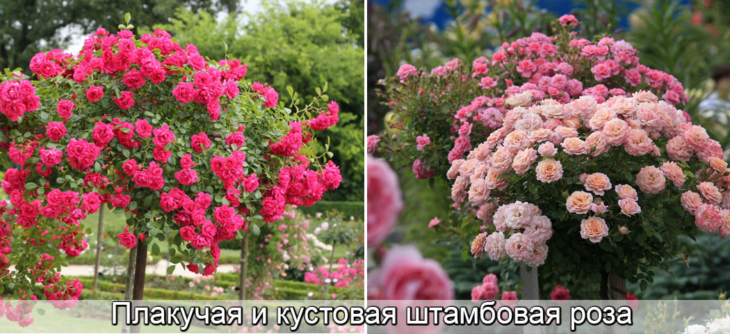 Плакучие штамбовые розы книрпс, кустовые розы на штамбе