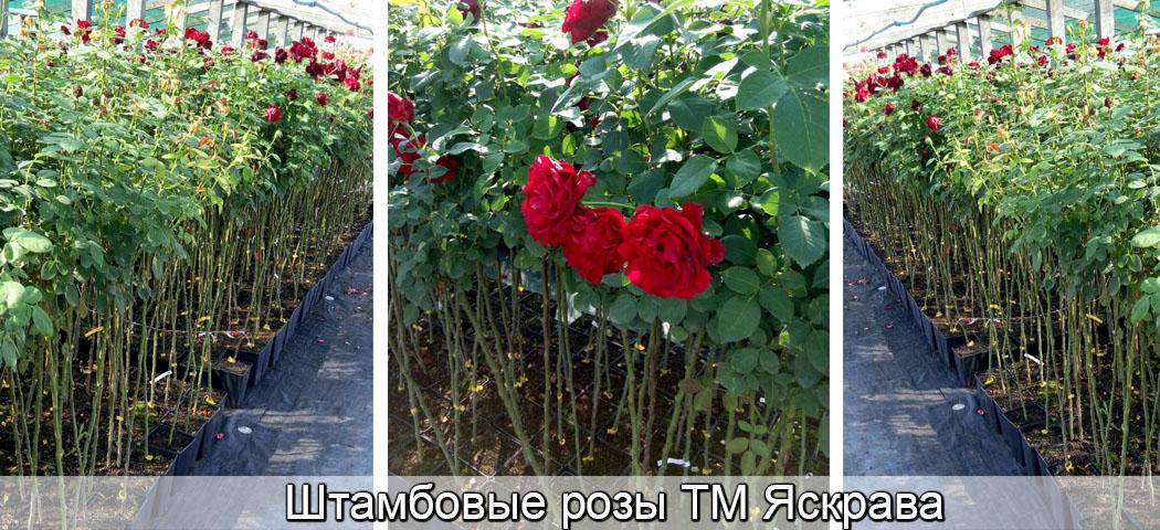 Штамбовые розы ЗКС,  Яскрава Клумба
