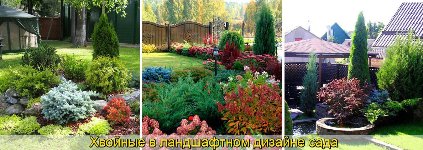 Хвойные лучшие сорта для дизайна сада, хвойные клумба, рокарий