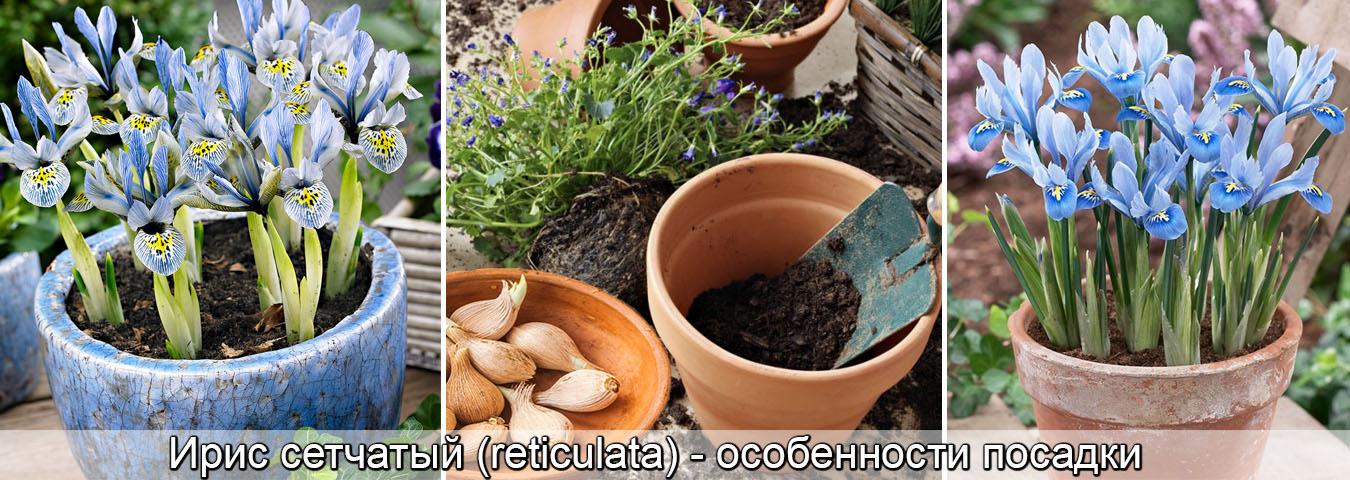 Ирис ритикулата, сетчатый, выращивание, посадка луковиц