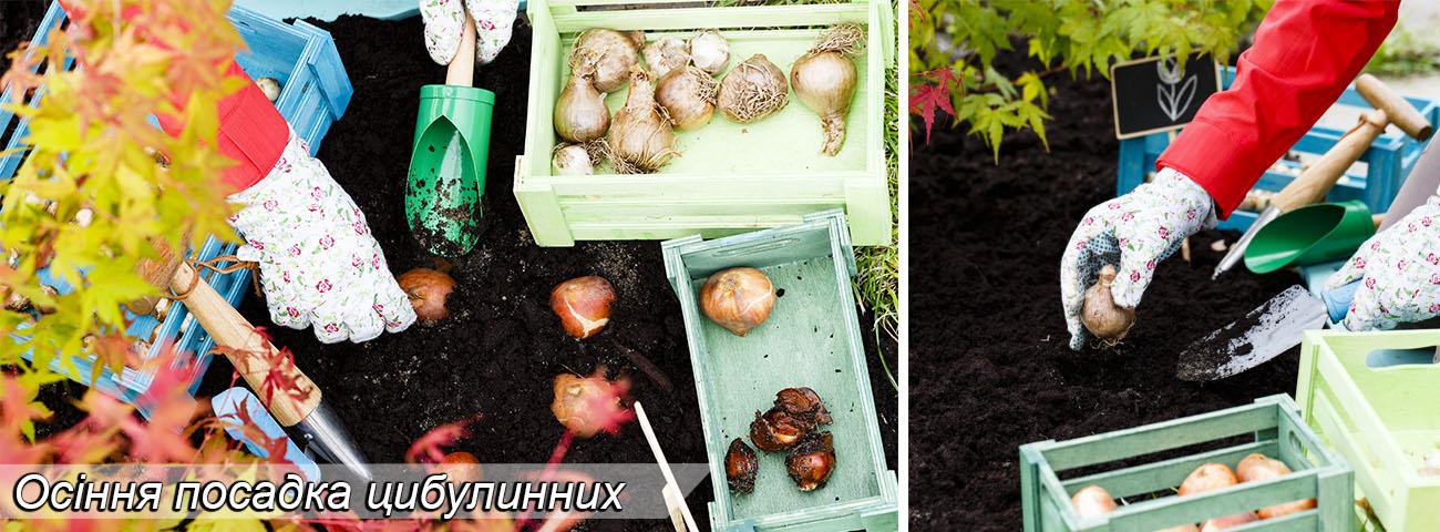 Осіння посадка цибулинних (тюльпани, нарциси, гіацнти, мускарі)