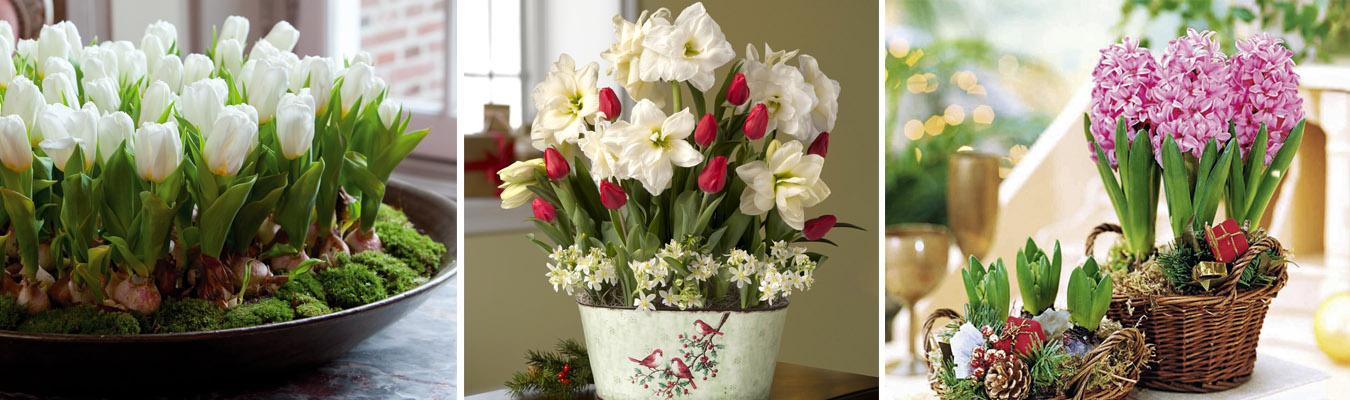 Выгонка тюльпанов, нарциссов, гиацинтов к новому году
