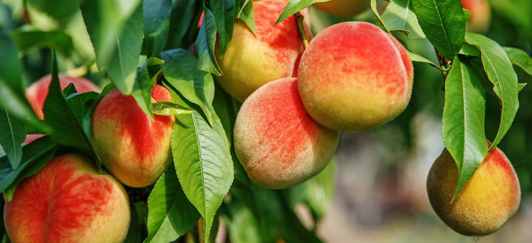 Саженцы персика, морозостойкого