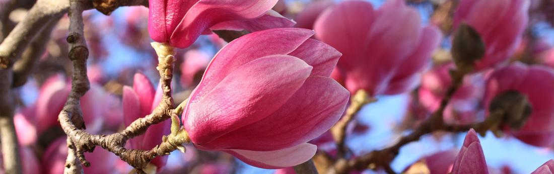 Лучшие кустарники, которые цветут в апреле, мае